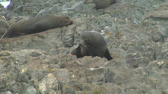 Fur Seal Cleans Flipper Stock Footage