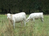 Stock Video Footage of White Calves