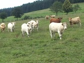 Stock Video Footage of Curious cows