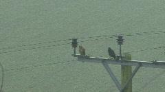Kestrel and Jackdaw on power pole in fine rain - Jackdaw flies away Stock Footage