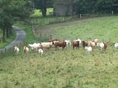 Stock Video Footage of Gallopping Cows