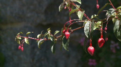 Red fuchsia on branch Stock Footage