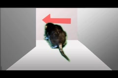 Rat in a hallway Stock Footage