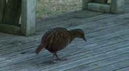Stock Video Footage of Weka on Deck