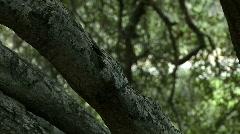 Oak tree 01 Stock Footage