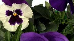 Flowers 29 Stock Footage