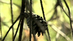 Pinecone 02 Stock Footage