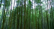 Stock Video Footage of Bamboo sunrise timelapse
