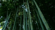 Stock Video Footage of bamboo 04