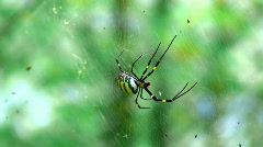 Golden Orb Weaver Spider Stock Footage