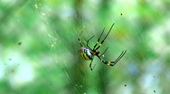 Stock Video Footage of Golden Orb Weaver Spider