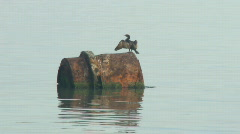 Cormorant drying wings Stock Footage