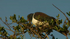 NZ Native Pigeon Eating Stock Footage