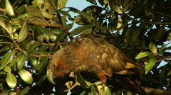 Kaka In Tree Stock Footage