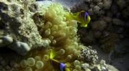 Anemone Clown Fish  Stock Footage