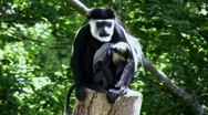 Mother and Baby COLOBUS Monkeys Stock Footage