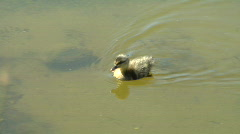 Duckling Swims and Dabbles Stock Footage