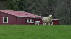 Ewe Stops Lambs Drinking Stock Footage