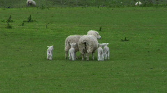 Ewes And Lambs Stock Footage