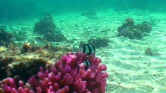 Stripey fish and coral Stock Footage