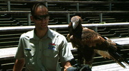 Stock Video Footage of australians wedge tail eagle