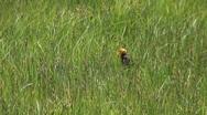 Yellow headed black bird  Stock Footage