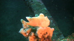 White Giant Frogfish, Antennarius Commerson on a reef in the Philippines Stock Footage