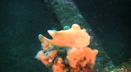 Stock Video Footage of White Giant Frogfish (Antennarius Commerson)