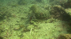 Cuttlefish, sepiida on a coral reef in the Philippines Stock Footage