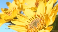 Sunflowers Close Up  Stock Footage