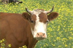 Cow. Stock Footage