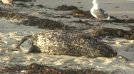 Seal on Beach Giving Birth to Pup Stock Footage