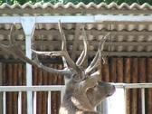 Deer in zoo  Stock Footage