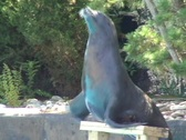 Sea Lion applauses  Stock Footage