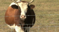 Cow Goes Moo Stock Footage