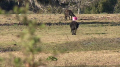 Cattle on A Farm Stock Footage
