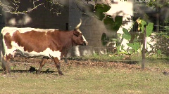 Cow With Big Horns Stock Footage
