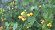 Yellow / Orange Color Berries Stock Footage
