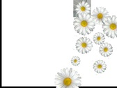 Daisy Alpha Stock Footage