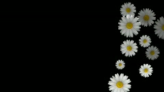 Daisys HD Stock Footage