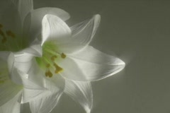 Easter Lillies Stock Footage
