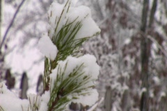 Wintry pine sapling Stock Footage