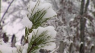 Stock Video Footage of wintry pine sapling