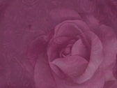 Rose on Rose Stock Footage