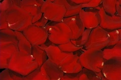 Rose Petals Wipe - stock footage