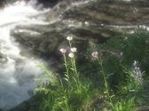 Stock Video Footage of Stream Flowers