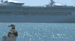 seagull watches a cruise liner passing - stock footage