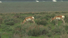 Antelope Grazing in Grand Teton National Park Stock Footage