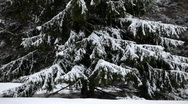 Snow covered fir twigs shaken by a cold wind Stock Footage