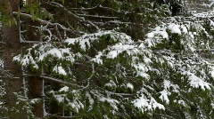 Wind shakes snow covered fir branches Stock Footage